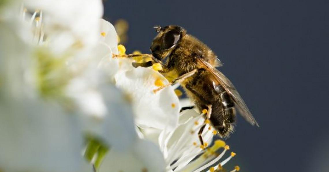Vor putea oare agrodronii să înlocuiască albinele?